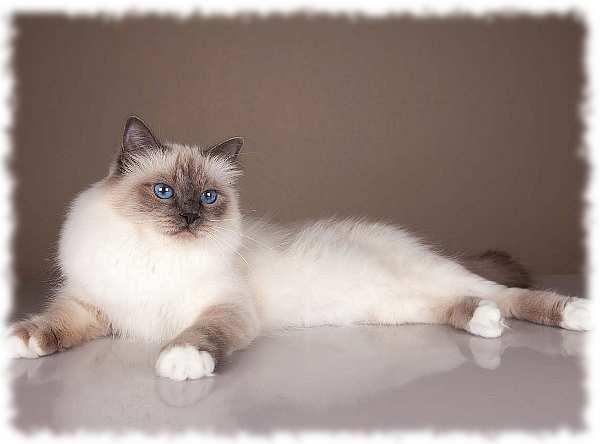 кошка священная бирма фото