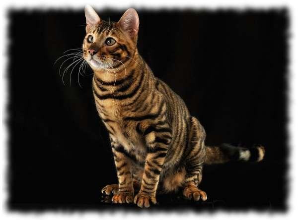 кошка тойгер фото и описание