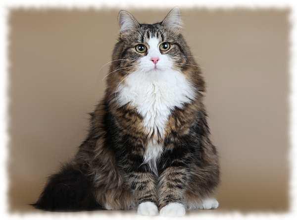 сибирская кошка черепаховый окрас