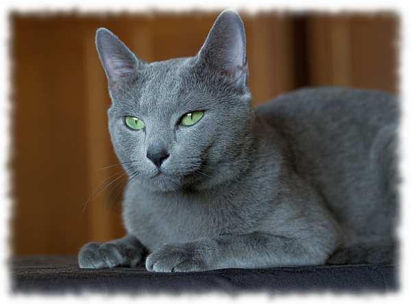 фото голубой кошки