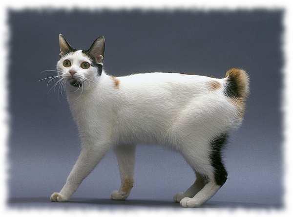 кошка японский бобтейл фото