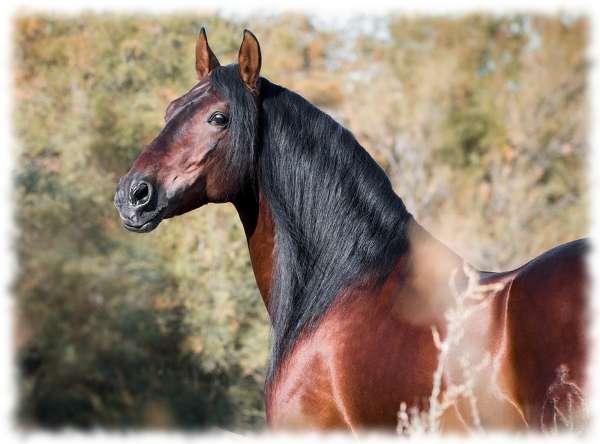 андалузская лошадь фото цена и описание