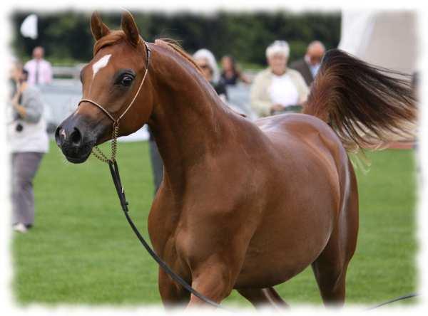 арабская порода лошадей фото