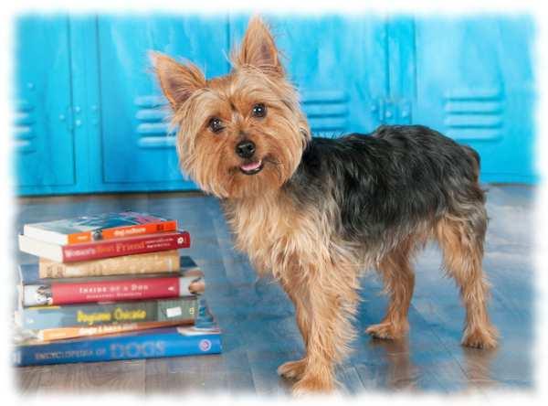 порода собак австралийский терьер фото и описание