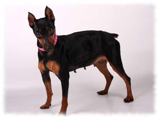порода собак карликовый пинчер фото