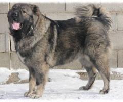 кавказская овчарка фото кавказского волкодава