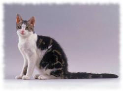 американская жесткошерстная кошка фото и описание