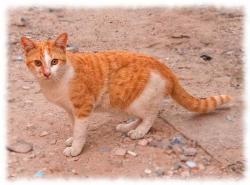 аравийский мау фото (каталог кошек фото с названиями)