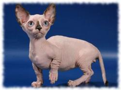 кошка бамбино фото