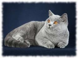 британская короткошерстная кошка фото
