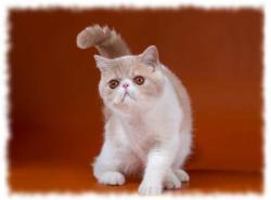 экзотическая короткошерстная кошка фото и описание