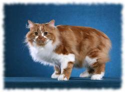 кошка кимрик фото - уэльская кошка