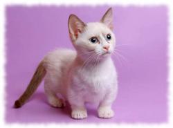 кошка манчкин фото