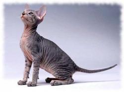 порода кошек Петерболд фото