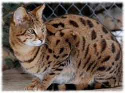 порода кошек саванна фото