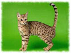 серенгети кошка фото