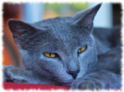 кошка шартрез фото породы chartreux