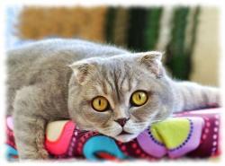 фото скоттиш фолд и описание шотландской вислоухой кошки