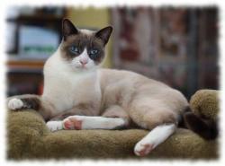 кошка сноу-шу фото (foto snowshoes)