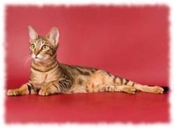кошка сококе фото и описание