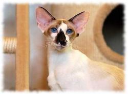 сейшельская кошка фото и описание сейшел