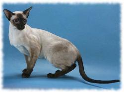 сиамская кошка фото и описание