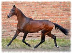 ахалтекинская лошадь (akhal-teke breed photo)