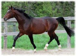 ганноверская порода лошадей фото и описание