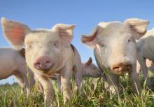 фото свиньи - каталог поросят по породам
