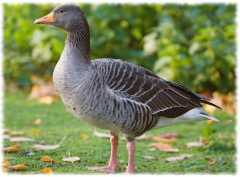 ландская порода гусей фото - гусь ландской породы