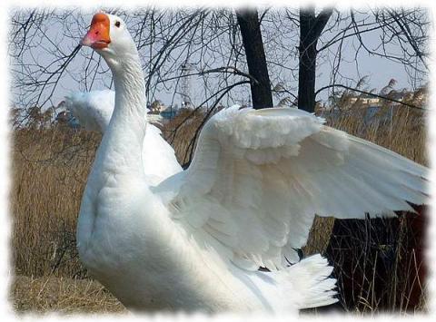 линдовская порода - фото линдовского гуся