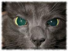 катаракта у кошек фото симптомы лечение