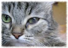увеит у кошек фото и описание