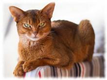 абиссинская кошка фото (abyssinian cat foto)