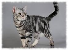 короткошерстная американская кошка фото и описание