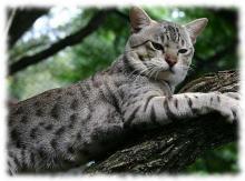 порода кошек австралийский мист фото