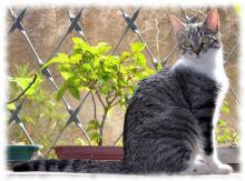 бразильская короткошерстная кошка фото