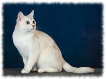 бурмилла фото (бурманская кошка)