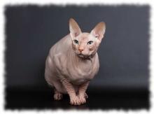 кошка донской сфинкс фото