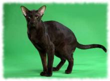 гавана кошка фото и описание