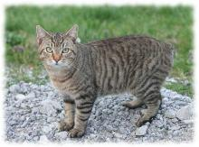 мэнкс фото и описание мэнской кошки