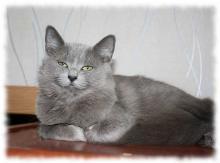 Нибелунг кот фото