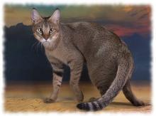 кошки чаузи фото