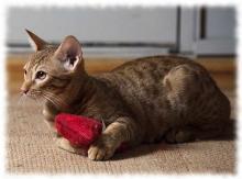 кошка оцикет фото