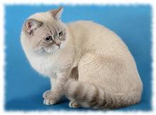 кошка скоттиш страйт фото и описание