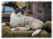 кошка сноу-шу фото (foto snowshoe)
