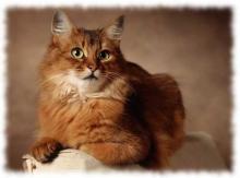 сомали кошка фото