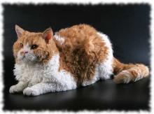 кошка Селкирк-рекс фото