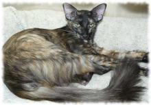 яванская кошка фото и описание породы яванез