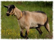 альпийская коза фото